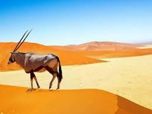 Gemsbos / Oryx in the Namib Desert
